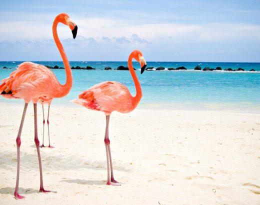 Flamingo Beach Aruba Flamencos Vacaciones Playa
